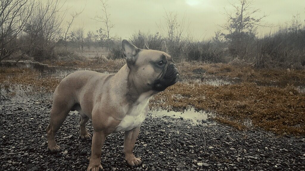 Het ras Franse Bulldog