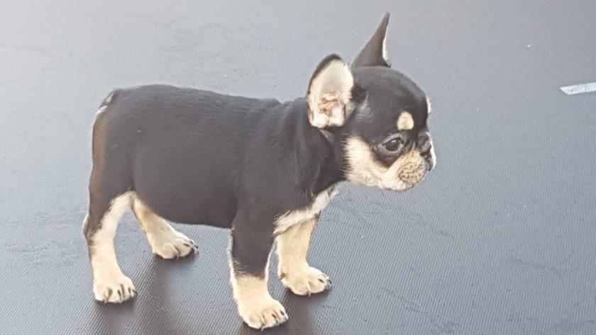 jack de franse bulldog pup