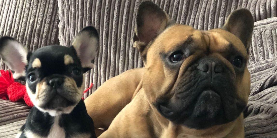 Max-en-Jack-Franse-Bulldog-Broertjes