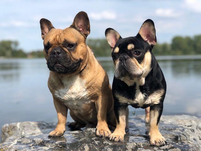 franse bulldog max en jack in de zon